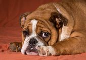 english bulldog puppy laying down looking at viewer