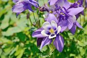 stock photo of columbine  - closeup of purple columbine flowers in spring - JPG