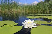 pic of day-lilies  - water lily on lake in nice day - JPG