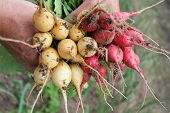 Fresh red and yellow radish in the woman's hands