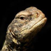 Egyptian Uromastyx lizard