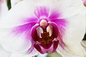 Closeup of a large orchid