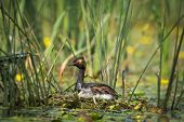 The Black-necked Grebe sitting on the nest