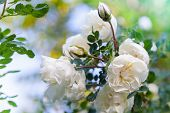 stock photo of climbing rose  - White roses on the branch in the garden - JPG