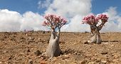 Bottle tree in bloom - adenium obesum - endemic tree of Socotra Island