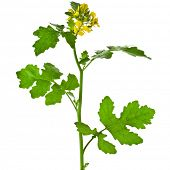 stock photo of cruciferous  - White mustard plant flowering close up   - JPG