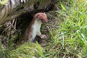 picture of ermine  - Stoat (Mustela erminea) portrait surrounded in grass.