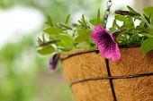 picture of petunia  - Pink petunia flowers growing outdoors in a coco basket - JPG