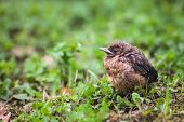 Closeup of a baby Common Blackbird (Turdus merula)