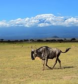picture of wildebeest  - Blue wildebeests in the African wild habitat - JPG
