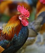 picture of fighting-rooster  - Beautiful decorative rooster on the farm in the spring - JPG