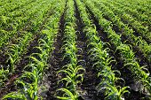 Agriculture, Corn Plant Field
