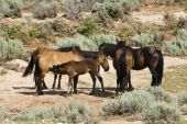 image of open grazing area  - free roaming mustangs in the Pryor Mountain wild horse range in Wyoming - JPG