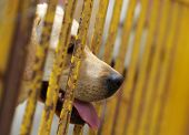 A Golden Retriever Showing His Head Through A Fence