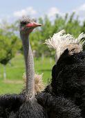 Ostrich In A Farm