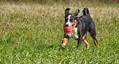 stock photo of cattle dog  - Appenzell cattle dog running on the green grass - JPG