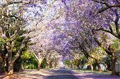 stock photo of tree lined street  - Jacaranda tree-lined street in South Africa