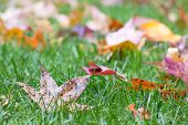 Fall Leaves In Grass Background