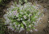 A Thymus Plant