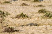 stock photo of grassland  - Some springbok hidden in the grassland Namibia - JPG