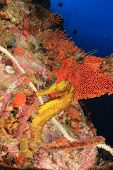 image of seahorse  - Seahorse - JPG