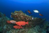 stock photo of bigeye  - Red bigeye fish - JPG