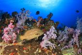 Grouper fish on coral reef, Thailand