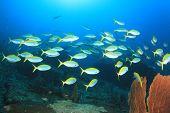picture of school fish  - School Fusilier fish - JPG
