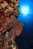Big Red Octopus hunts on underwater coral reef