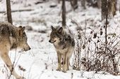 Timber wolves in a winter scene