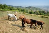 Horses Grazing On Meadow
