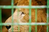 Lion In Cage Close Up