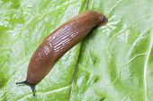 Slug On Leaves Close Up