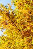 colorful autumn Bald Cypress tree