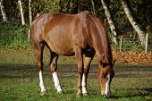 Beautiful brown horse grazing