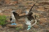 Blue-footed Boobies Dancing During Courting in Galapagos Islands