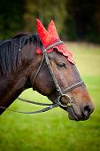 image of headgear  - Domestic horse  - JPG