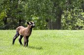 picture of spring lambs  - Barbados blackbelly sheep lamb - JPG