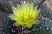 Notocactus Mammulosus Flower.