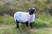 White sheep with black head.