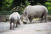 foto of southern  - Male Southern White Rhinoceros and cub - JPG