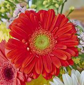 vibrant red Gerber daisy flower closeup