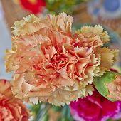 vibrant orange carnation flower closeup