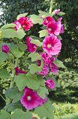Summer Rose Mallow Blossoms In Garden