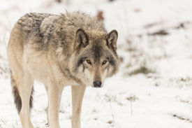 stock photo of horrific  - A lone Grey Wolf in a winter setting - JPG