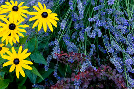 foto of lavender field  - Lavender fields in Washington state - JPG