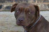 image of pit-bull  - American Pitbull Terrier - JPG