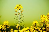 pic of rape-seed  - Close up of rape flower in the filed - JPG