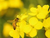 foto of rape-seed  - Closeup image of bee on the yellow rape flower - JPG