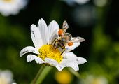 foto of daisy flower  - Close up bee with pollen - JPG